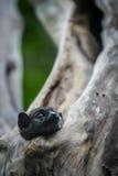 Αθλητικός κερκοπίθηκος Ankarana Στοκ Φωτογραφίες