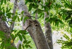 Κερκοπίθηκος στο πάρκο Μαδαγασκάρη Ankarana Στοκ Εικόνες