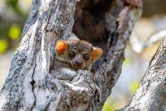 Ankarana sportive lemur, Madagascar stock images
