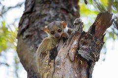 Ankarana sportive lemur, Madagascar stock photo