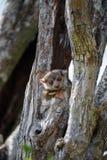 Ankarana sportive lemur, Madagascar stock photography