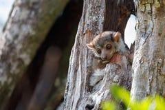 Ankarana sportive lemur, Madagascar stock image