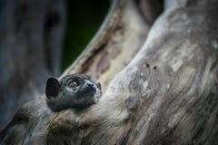 Ankarana Sportive Lemur royalty free stock photo