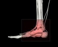 Ankle Injury. Detailed foot with arteries, veins, bones and ankle hilight Stock Photos