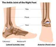 The ankle joint. Lateral and front views of the ankle joint, eps8 Stock Images
