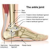 The ankle joint, tendons of the ankle joint foot anatomy vector illustration stock illustration
