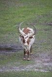 Ankole - βοοειδή Watusi καφετιά και άσπρα Στοκ φωτογραφία με δικαίωμα ελεύθερης χρήσης