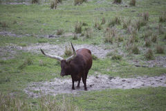Ankole - καφετιά στάση βοοειδών Watusi Στοκ Φωτογραφίες