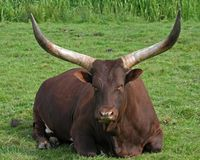 Ankole Cattle Royalty Free Stock Photo