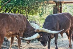 Ankole Cattle royalty free stock images