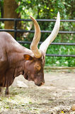 Ankole Cattle Behind Fence Stock Images