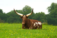 Ankole cow Stock Image