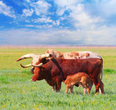 Ankole Watusi Stock Photo