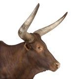 Ankole-Watusi Stock Photography
