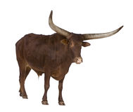 Ankole-Watusi Royalty Free Stock Photography