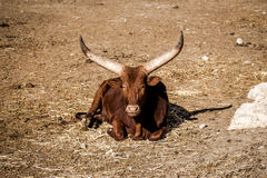 The Ankole-Watusi Royalty Free Stock Photos