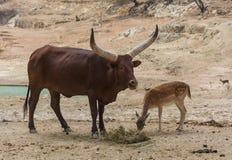 Ankole-Watusi Bos Taurus και ελάφια Dama Dama αγραναπαύσεων που βόσκουν από κοινού Στοκ εικόνα με δικαίωμα ελεύθερης χρήσης