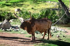 Ankole-Watusi Bull. Watusi Bull in the early morning Royalty Free Stock Image