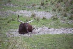 Ankole, Watusi bydła brown kłaść w dół - Obraz Stock