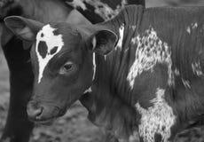Ankole-Watusi calf is a modern American breed of domestic cattle.