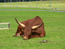 Ankole-Watusi cattle Royalty Free Stock Photos