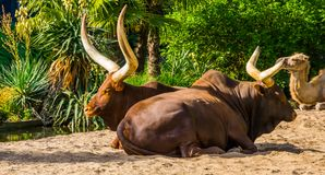 Ankole watusi couple sitting close together, tropical cow breed with massive horns from America