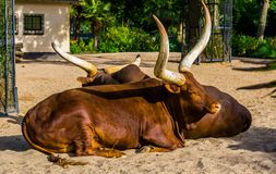 Ankole watusi couple together, tropical cow breed with big horns from America