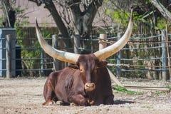 Ankole-Watusi longhornu byk od Afryka Zdjęcia Stock