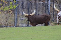 Ankole-Watusi is a modern American breed of domestic cattle. It derives from the Ankole group of Sanga cattle breeds of
