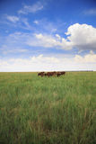 Ankole-Watusi in Steppe Stock Photography