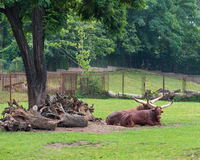 Ankole-Watusi in zoo Royalty Free Stock Photos