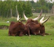Ankole-watussi Büffel Lizenzfreies Stockbild