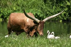 Ankoli cattle Royalty Free Stock Images