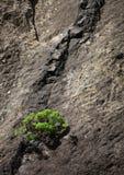 Anlage auf vulkanischer Klippe in Masca Tal stockfotografie