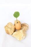 Anlage in der Eieinfassung mit Felsen Lizenzfreie Stockfotos