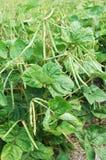Anlage der grünen Bohnen Stockfoto