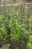 Anlage der grünen Bohnen Stockbild