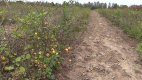 Anlage der Quitte (Chaenomeles) mit gelber reifer Frucht wachsen im Bauernhof stock video