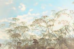 Anlage der Schafgarbe in den Strahlen der Nahaufnahme der untergehenden Sonne, selektiv Lizenzfreies Stockfoto