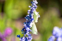 Anlage des englischen Lavendels, die auf Wiese mit zwei weißen Schmetterlingen hocken auf ihr blüht stockbilder