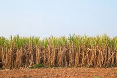 Anlage des Zuckerrohrs und des blauen Himmels Stockbild