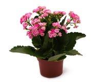 Anlage im Potenziometer mit rosafarbenen Blumen Lizenzfreie Stockfotografie