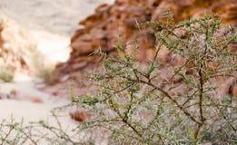 Anlage mit großen Spitzen und grünen Blättern vor dem hintergrund der Klippen der farbigen Schlucht in Ägypten Dahab Süd-Sinai stockfotos