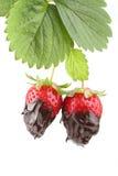 Anlage mit zwei organischen Erdbeeren bedeckt mit flüssiger Schokolade Lizenzfreie Stockbilder