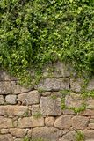 Anlage wachsen auf Wand Stockfoto