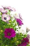 Anlagen des Afrikaner- oder Umhanggänseblümchens (Osteospermum) Lizenzfreie Stockbilder