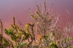 Anlagen, die in den rosa Salzebenen bei Margherita Di Savoia in Puglia, Italien wachsen Wasser ist rosa Krebstiere, die in ihm le stockbilder