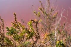 Anlagen, die in den rosa Salzebenen bei Margherita Di Savoia in Puglia, Italien wachsen Wasser ist rosa Krebstiere, die in ihm le stockfoto