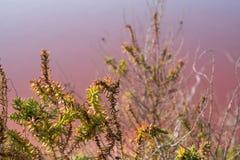 Anlagen, die in den rosa Salzebenen bei Margherita Di Savoia in Puglia, Italien wachsen Wasser ist rosa Krebstiere, die in ihm le lizenzfreie stockfotos