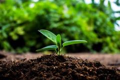 Anlagen, die in der Keimungsreihenfolge auf fruchtbarem Boden mit natu wachsen Lizenzfreies Stockfoto